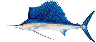 Fishing Florida Keys Sailfish