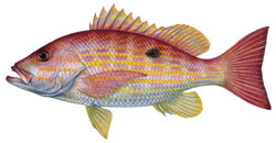 Lane Snapper Fishing Florida Keys